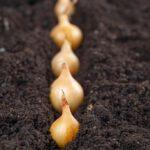 Uien planten en telen